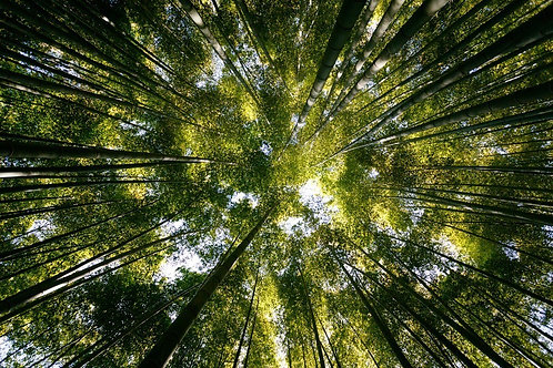 Вид снизу на вытянутые стволы в бамбуковом лесу