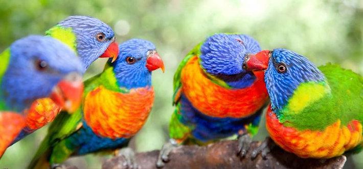 Австралийские радужные попугайчики