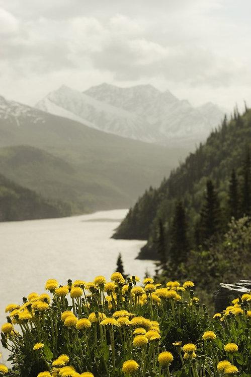 Желтые одуванчики в Чугачских горах на Аляске и река Коппер