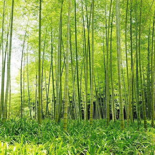 Заросли бамбукового леса