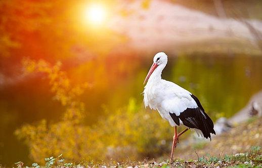 Красивый белый аист на фоне заката