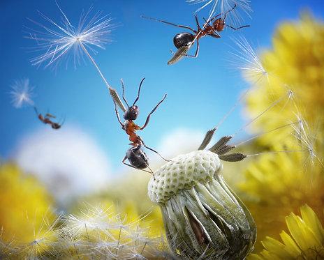 Муравьи на зонтиках из семян одуванчика