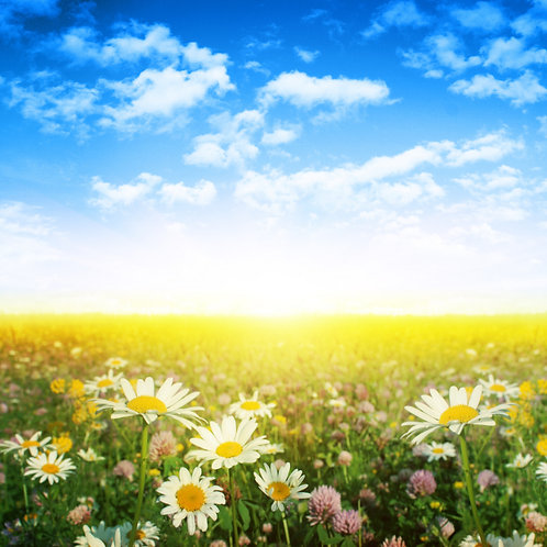 Цветочное поле с ромашками и клевером на закате