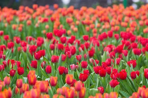 Тюльпаны в саду крупным планом
