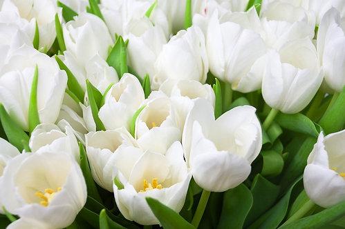 Белые тюльпаны в виде цветочного фона