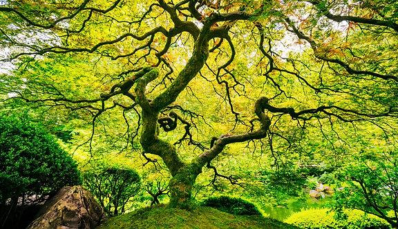 Фотообои. Фрески. Картины. Дерево. Зеленый клен. Японский сад. Природа. Пейзаж