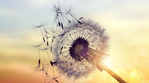 Силуэт одуванчика с семенами на ветру на фоне заката