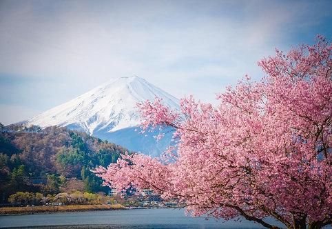 Гора Фудзи и цветущая сакура весной на озере Кавагучико - Япония