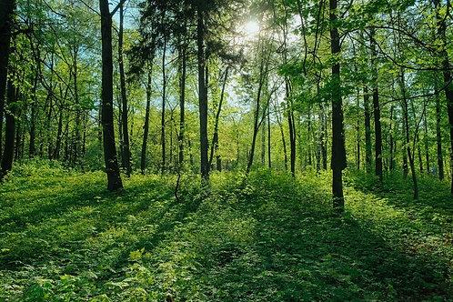 Зеленый лес в лучах солнца