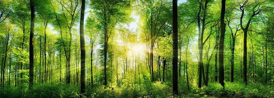 Живописный зеленый лес с расходящимися солнечными лучами света