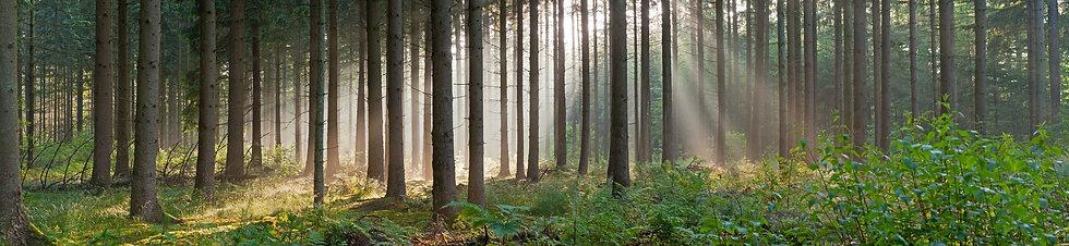 Панорамный пейзаж туманного хвойного леса в солнечных лучах