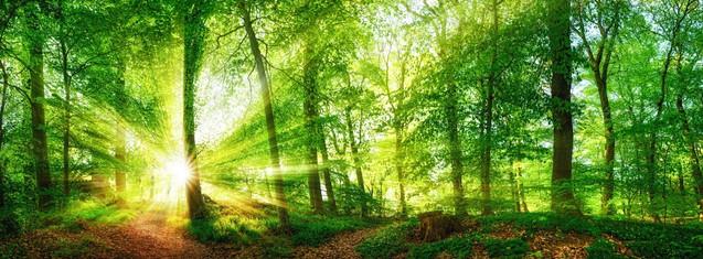 Панорама букового леса и солнце с яркими лучами света, красиво светящими сквозь деревья | #410452819