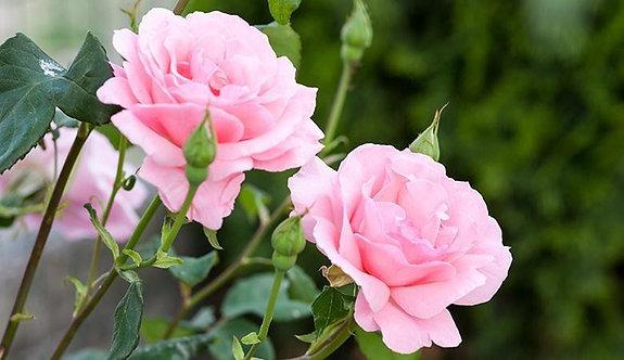 Нежные розовые розы в саду