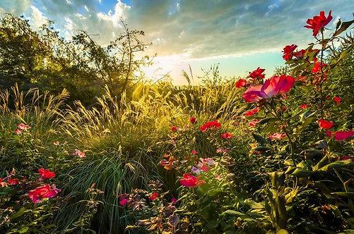 Фотообои. Фрески. Картины. Сад с розами. Восход солнца. Природа и пейзажи