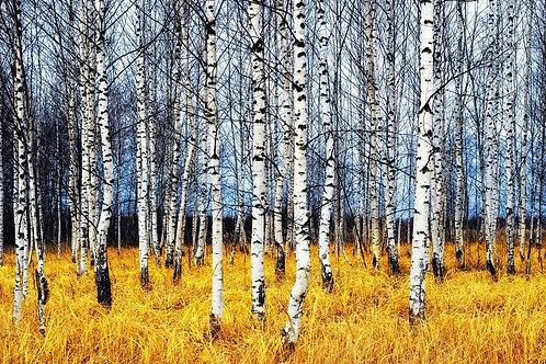 Березовый лес осенью среди пожелтелой травы