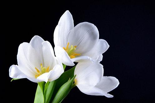 Букет из белых тюльпанов на черном фоне