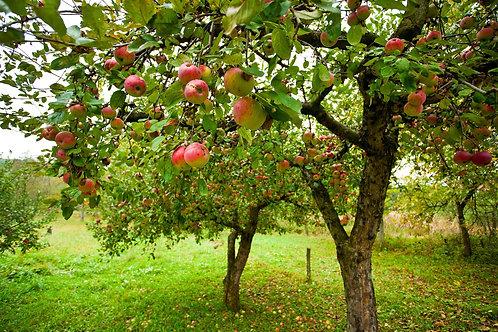 Фотообои. Фрески. Картины. Яблони. Красные яблоки. Яблоневый сад. Природа и пейзажи