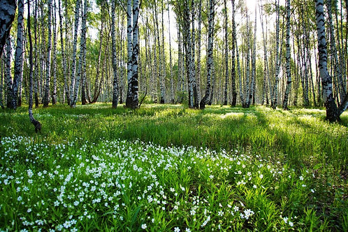 Солнечная поляна с ромашками в березовом лесу