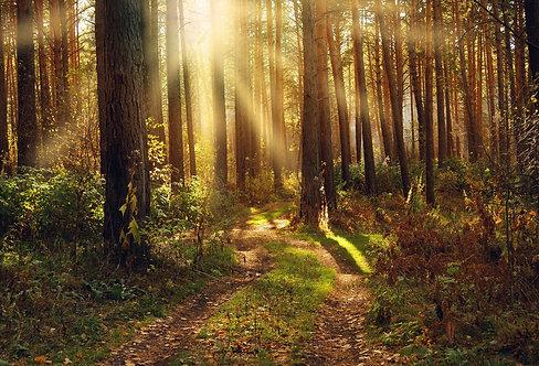 Осенний хвойный лес