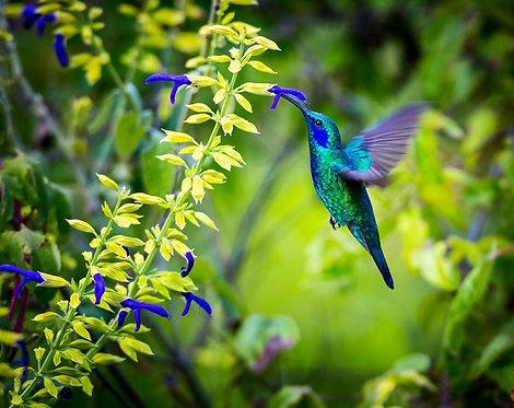 Изумрудный колибри парит над цветком