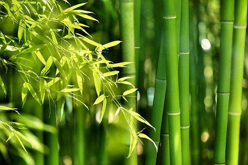 Азиатский бамбуковый лес в утреннем солнечном свете