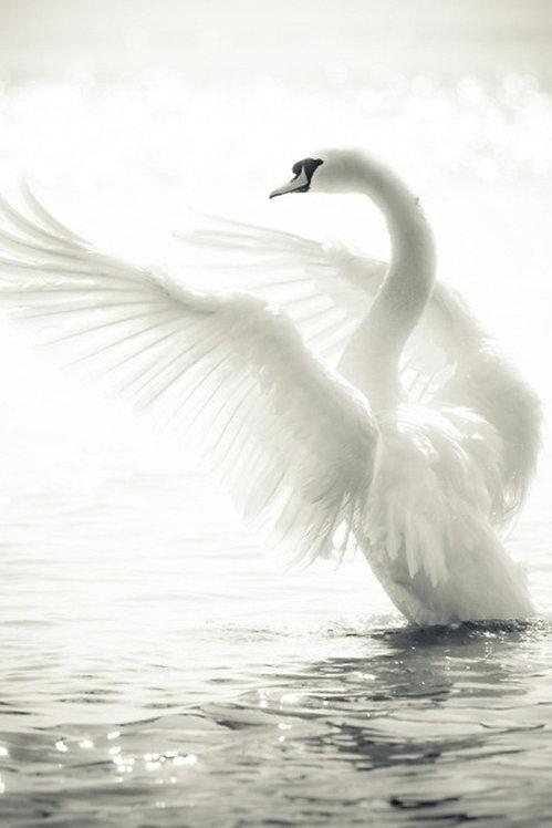 Изящный лебедь с распахнутыми крыльями на озере