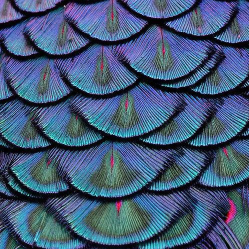Красивые павлиньи перья крупным планом