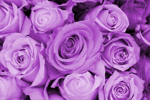 Фиолетовые розы крупным планом в виде цветочного фона
