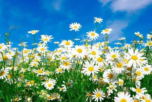 Белые ромашки на лугу под голубым небом