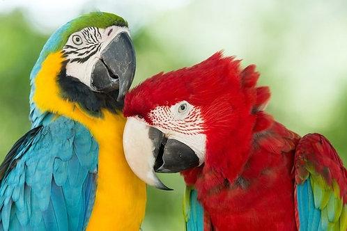 Пара больших разноцветных попугаев