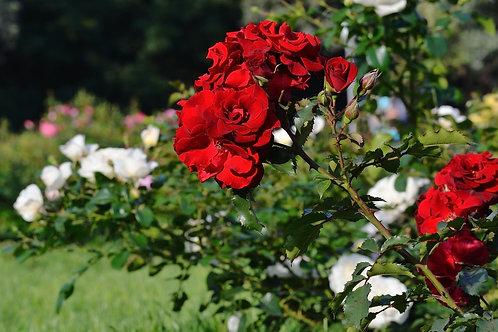 Фотообои. Фрески. Картины. Красные розы в саду. Природа и пейзажи