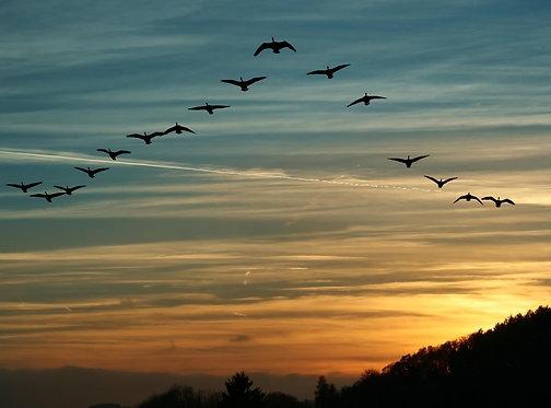 Стая мигрирующих канадских гусей на фоне заката