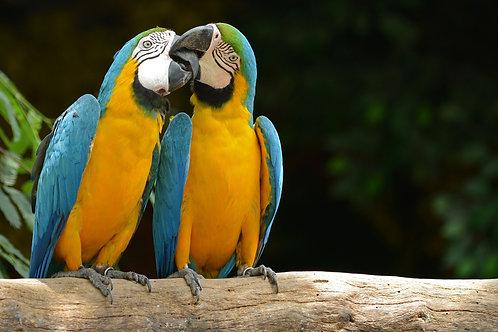Два попугая на ветке крупным планом