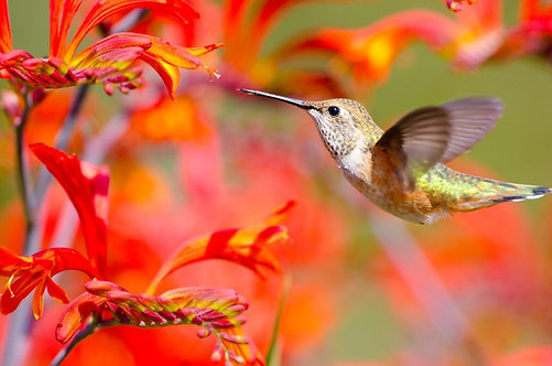 Колибри, питающийся нектаром цветов