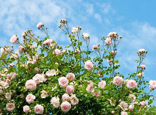 Розовые розы в саду на фоне голубого неба
