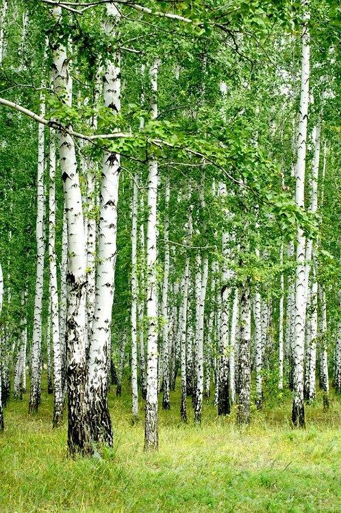 Белые березы в лесу летом