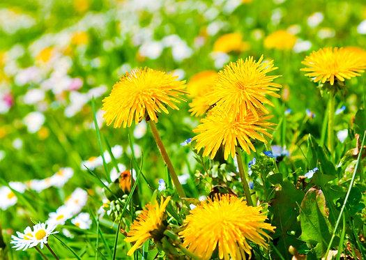 Желтые одуванчик на зеленом лугу с полевыми цветами
