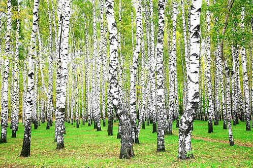 Берёзовый лес ранней осенью