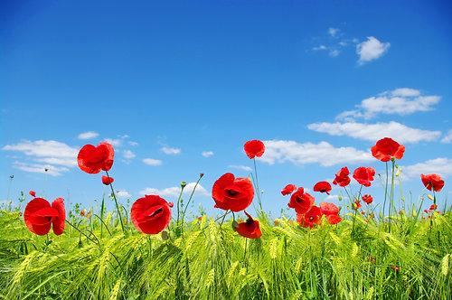 Красные маки на зеленом поле пшеницы под голубым небом