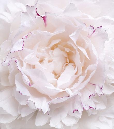 Белый цветок пиона крупным планом