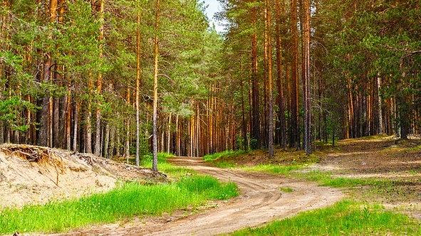 Скандинавский сосновый лес и песчаная дорога летом