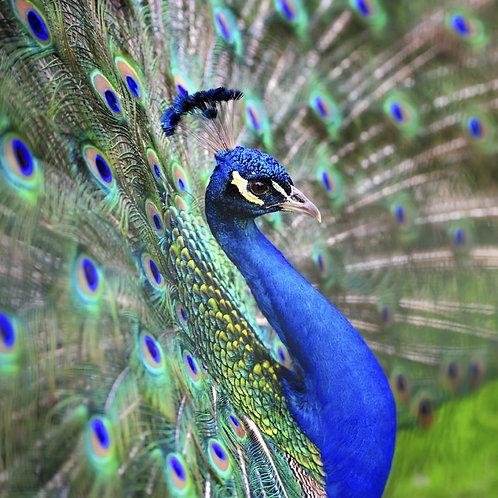 Павлин с красивыми перьями
