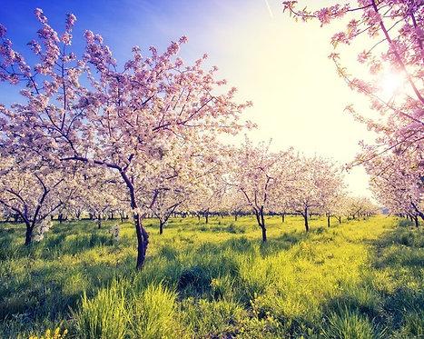 Фотообои. Фрески. Картины. Цветущий яблоневый сад. Весна. Природа и пейзажи