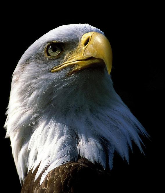Белоголовый орлан крупным планом