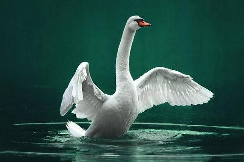 Белый лебедь с распахнутыми крыльями на зеленом озере