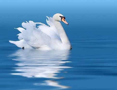 Белый лебедь с отражением в голубой воде