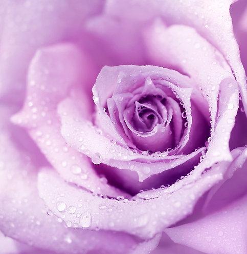 Фиолетовый бутон розы крупным планом с утренней росой