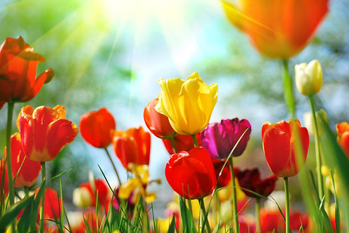 Весенний луг с разноцвеными тюльпанами в лучах солнечного света