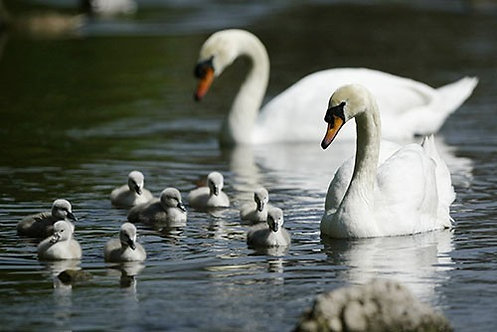 Белые лебеди с птенцами