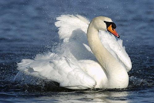 Белый лебедь в брызгах воды